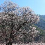千曲市 あんずまつり 森の杏の花が見頃です。