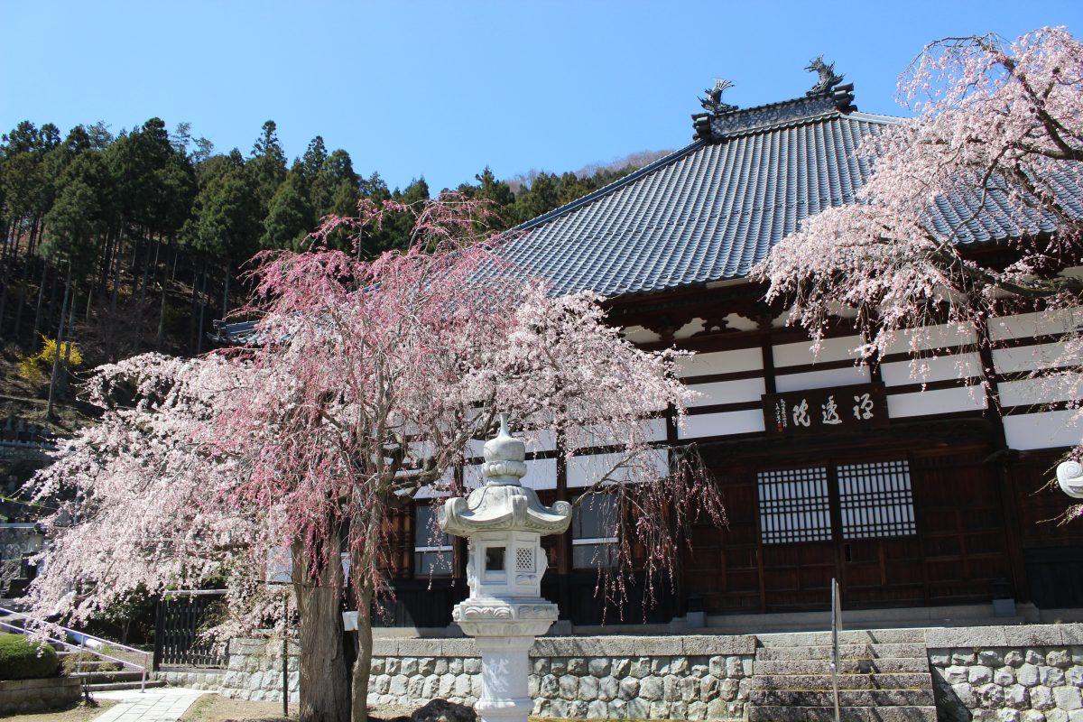 桜満開 曹洞宗 禅透院