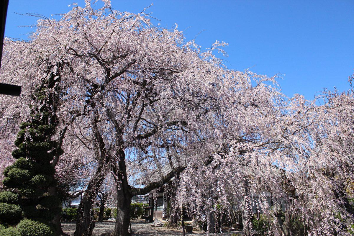 川中島記念館 典厩寺の枝垂れ桜