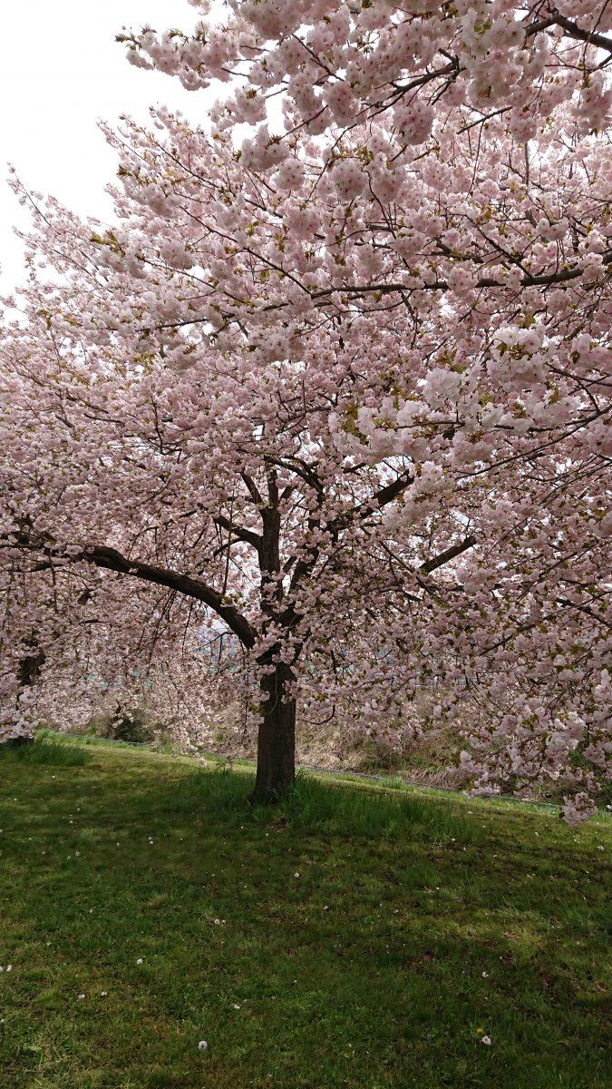 小布施の桜
